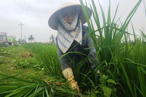 Nông dân Thanh Hóa méo mặt vì 'lúa ma'