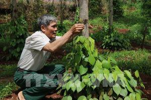 Phát triển bền vững ngành hồ tiêu - Bài 1: Vỡ quy hoạch