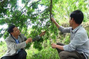 Mận đỏ Hoàng Su Phì mang về 6 tỷ đồng/năm cho nông dân Hà Giang