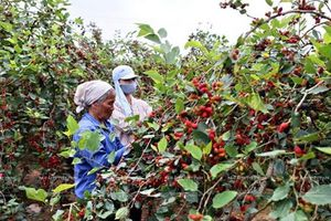 Hà Nội: Đời sống người dân Hiệp Thuận đổi thay mạnh mẽ nhờ cây dâu