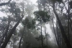 Phát hiện quần thể pơ mu nghìn tuổi ở Vườn quốc gia Vũ Quang