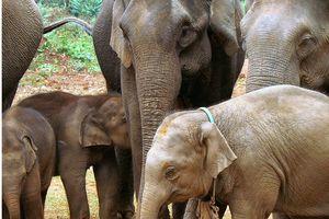 Gia tăng tình trạng săn bắt voi trái phép ở Myanmar