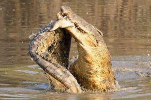 Cá sấu bại trận bị đồng loại xé xác