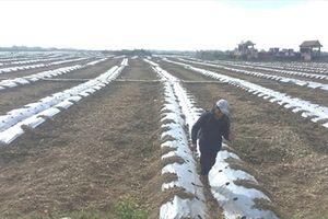 Dân Bình Đinh vẫn đeo đuổi 'canh bạc' trồng dưa hấu