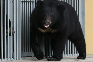 Mua chó về nuôi, lớn lên biến thành một chú Gấu lớn