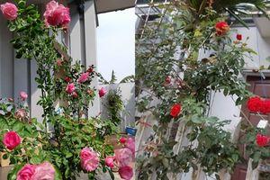 Kinh nghiệm tự làm phân bón cho hoa hồng của bà mẹ Hải Dương