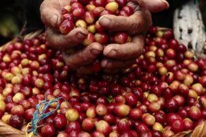 Giá nông sản hôm nay 18/5: Giá cà phê trên đà phục hồi tăng nhẹ, giá tiêu lại giảm