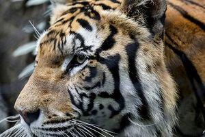 Đột kích tư dinh trùm tội phạm dùng hổ gác cổng