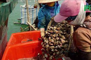 Dân Quảng Ninh nuôi ngao hai cùi kiếm tiền tỷ mỗi năm