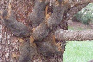 Kỳ lạ 6 con sóc bị rối đuôi vào nhau, cùng nhau từ từ di chuyển