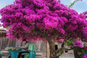 Sửng sốt cây hoa giấy nở hoa đỏ rực bên căn nhà gỗ ở Đà Lạt