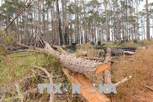 Đắk Nông: Kiên quyết xử lý tình trạng phá hoại rừng thông ven Quốc lộ 28
