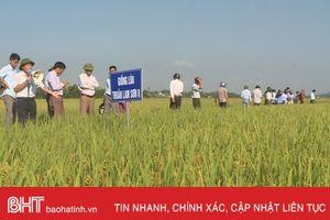 Cẩm Xuyên đánh giá kết quả sản xuất thử nghiệm lúa thuần Lam Sơn 8