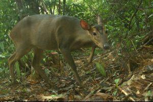 Lần đầu tiên phát hiện loài mang lớn ở Quảng Nam