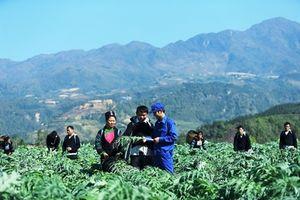 Đồng bào vùng cao thoát nghèo nhờ 'bắt tay' với doanh nghiệp trồng dược liệu