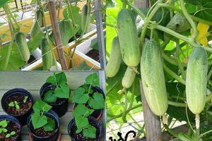 2 cách trồng dưa chuột sạch trong thùng xốp tại nhà cho quả sai lúc lỉu, ăn 'mỏi mồm'