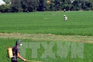 Chủ động phòng chống bệnh lùn sọc đen hại lúa ở phía Bắc