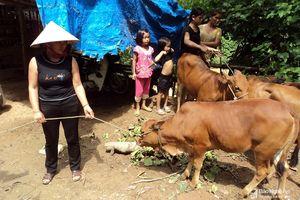 Lập đoàn kiểm tra việc 'cấp bò giống bị lở mồm long móng cho người dân'