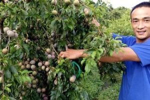 Làm giàu ở nông thôn: Chăm mận hậu bán cả vườn lãi 200 triệu/năm