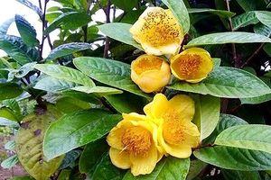 Làm giàu từ trà hoa vàng