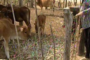 Kiểm tra việc cấp bò giống bị bệnh cho dân