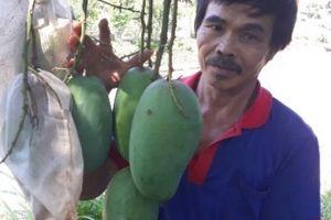 Nông dân Sơn La trúng quả nhờ 'mặc áo' cho hàng nghìn quả xoài
