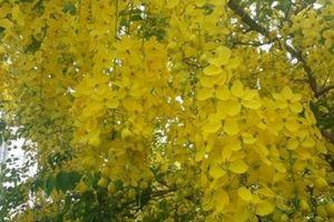 Hoa Osaka rực rỡ nhuộm vàng đường phố Tam Kỳ trong cái nắng tháng 5
