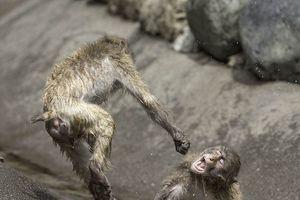 Khỉ đấm nhau như võ sĩ khiến nhiếp ảnh gia há hốc mồm kinh ngạc