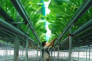 Lạ mắt vườn rau 2 tầng, có nhõn 360m2 nhưng thu tới 2 tấn rau/tháng