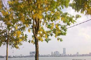 Hồ Tây: Rực rỡ sắc vàng của Quốc hoa Thái Lan