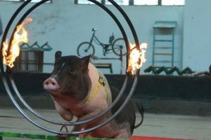 Xem lợn trổ tài nhảy qua vòng lửa, sút bóng vào lưới