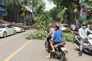 Phượng vỹ cổ thụ đổ đè bẹp ô tô Lexus trên phố Hà Nội