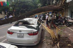 Hà Nội: Xế hộp bẹp dúm vì cây lớn bật gốc
