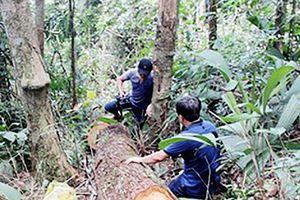 Kỷ luật khiển trách phó trưởng công an xã vì cho phép dân vào rừng khai thác ươi