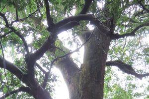 Cây lim xanh hơn 700 tuổi – báu vật làng quê