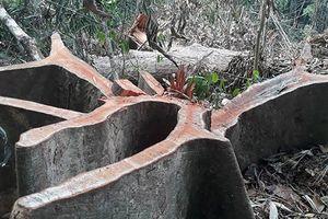 Hàng chục cây ươi rừng ở Bình Phước bị đốn hạ để lấy hạt