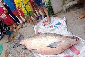 Những con cá trắm khủng gây xôn xao thị trường