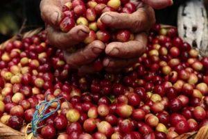 Giá nông sản hôm nay 9/6: Giá cà phê rớt thê thảm về đáy mới, giá tiêu ít biến động