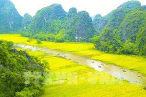Ngắm mùa vàng Tam Cốc bên bờ sông Ngô Đồng đẹp nao lòng