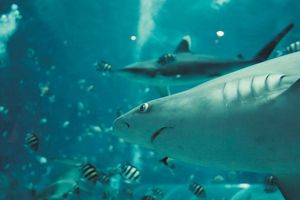 Cá mập có đáng phải chịu 'tiếng xấu' hay không?