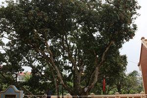 Ngắm 'cây vải tổ' được xác lập Kỷ lục Việt Nam