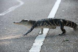Hi hữu: Cá sấu chặn đầu máy bay trên đường băng