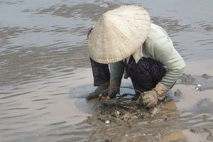 Trà Vinh: Thiệt hại hơn 4 tỷ do nghêu chết vì nhiễm ký sinh trùng
