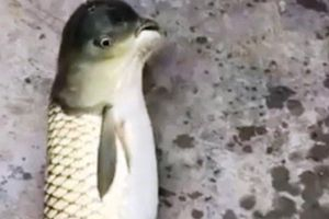 Dân mạng thích thú ngắm sinh vật lạ 'thân cá, đầu chim'