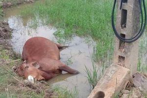 TT-Huế: Bò lăn đùng ra chết khi ăn cỏ cạnh trụ viễn thông