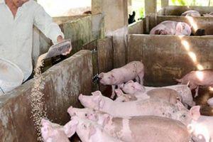 Giá heo hơi hôm nay 16/6: Thị trường bất ổn, người nuôi lợn hoài nghi