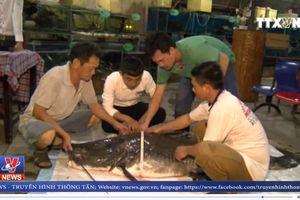 Bắt được cá lăng 'khủng' nặng hơn 100kg cực hiếm trên sông Tiền