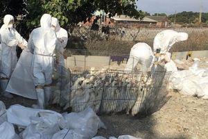 Ngăn cúm gia cầm H2N2 lây lan, Đài Loan tiêu hủy hơn 5.000 con vịt