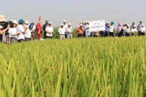 Kim Cương 111, Đài Thơm 8: 2 giống lúa nông dân Kinh Bắc thích mê