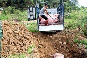 Cảnh báo nguy cơ mất ATTP và dịch bệnh từ lợn nhập lậu
